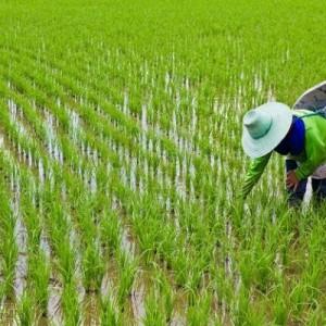 مدت ممنوعیت واردات برنج اعلام شد
