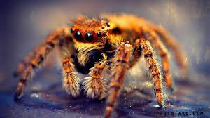 نبرد دو عنکبوت سمی برای تصاحب سوراخ دیوار +فیلم