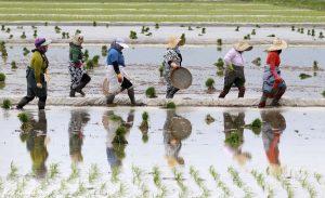 تصاویر دیدنی از نشاء برنج در شالیزارهای گیلان | عطر خوش همدلی