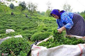 خسارت نماتد زخم ریشه در باغهای چای رو به گسترش