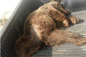 کشف لاشه خرس قهوه ای درصومعه سرا/عاملان شناسایی می شوند