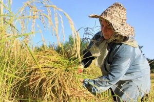 برنج تولید داخلی روی دست کشاورز ماند/ اجرای طرح مزرعه تا سفره