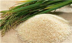 دخالت وزارت بازرگانی تنظیم بازار برنج را بر هم زد/ برنج ایرانی روی دست کشاورزان ماند