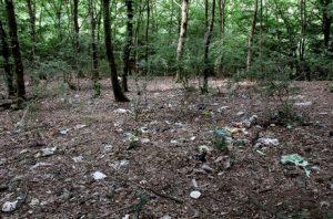 """خطری دوباره برای جنگلهای شمال/ """"راش"""" هم رو به نابودی است"""