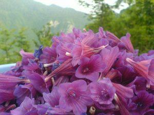 جشنواره گل گاوزبان در اشکورات رودسر برگزار میشود/ تأمین ۶۵ درصد گل گاوزبان کشور از اشکورات