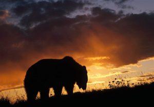 مرگ خرس گریزلی در ارتفاعات ماسال