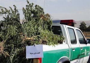 مزرعه ماریجوانا با وام ۴۰۰ میلیون تومانی اشتغالزایی از کمیته امداد/ متهم در اختیار دستگاه قضایی است