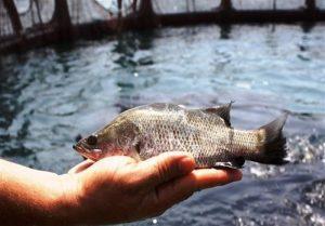 پرورش ماهی در اراضی شالیکاری گیلان کاهش یافت