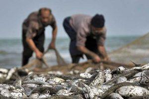 صیادان گیلانی ۸۰ تن ماهی استخوانی از دریای خزر صید کردند
