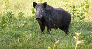 عامل کشتار ۱۸ رأس گراز وحشی به ۳ سال حبس محکوم شد