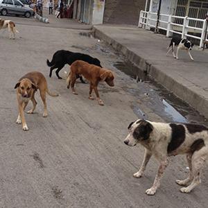 جمعیت سگهای ولگرد رشت کاهش مییابد