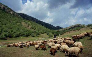 عملیات بهبود پوشش علوفه ای مراتع گیلان ۶۰ درصد پیشرفت دارد
