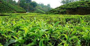 ایران از صادرات ۱۳ هزار تن چای ۱۷ میلیون دلار درآمد ارزی به دست آورد