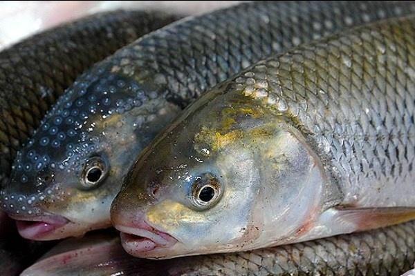 کشف ۸ تن ماهی غیر بهداشتی در آستارا / ۲ نفر دستگیر شدند