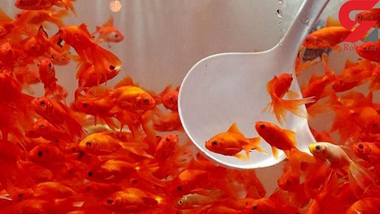 توصیه دامپزشکی گیلان در خصوص خرید ماهی قرمز شب عید